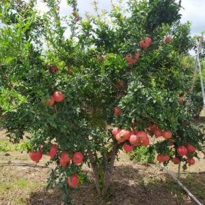 Pomegranate Plants